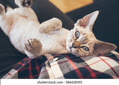 Beautiful Devon Rex cat is laying down on owners lap and  looking directly at camera. Very cute little kitten. Love and care concept