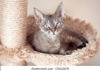Beautiful devon rex cat is sitting on the scratching post