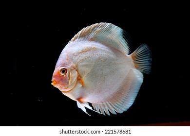 Beautiful Discus Fish isolated on Black