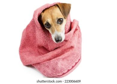 beautiful dog in a bath towel. peeps muzzle