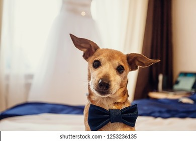 Beautiful dog with bow-tie on the background of the bride's wedding dress. Animal portrait..