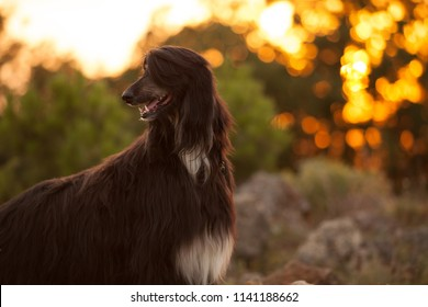 beautiful dog breed Afghan hound at sunset