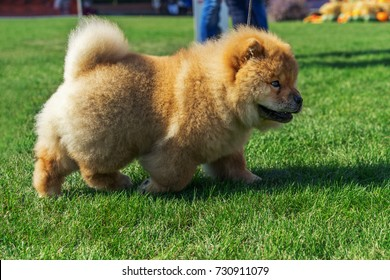 beautiful dog breed Chow Chow red color is to show the position run in the summer on the grass.