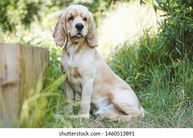 Beautiful dog breed Cocker Spaniel sits in the thick green grass with his tongue sticking out. Cocker Spaniel Breed Portrait. Image for veterinary clinics, nurseries, sites about animals.