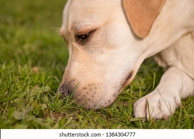 Beautiful dog breed labrador retriever on walk in park. Close-up of Dog sniffing the green grass in sity park. Pet and domestic animal concept.