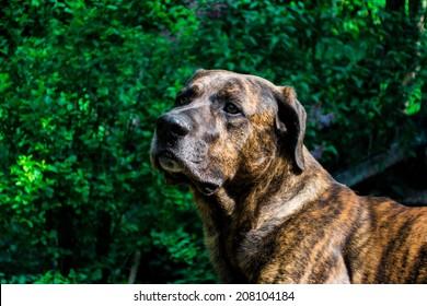 Love pics of black brindle pit bull salvador amateur