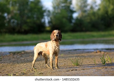 Beautiful dog breed Russian hunting spaniel in nature by the lake on a summer day