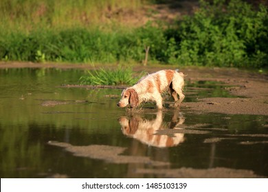 Beautiful dog breed Russian hunting spaniel in nature by the lake with reflection in the water on a summer day
