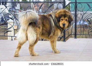 Beautiful dog breed Tibetan Mastiff. Horizontal picture