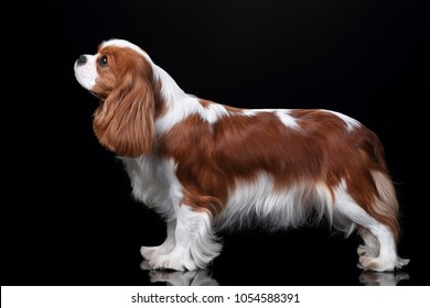 Beautiful Dog Cavalier King Charles Spaniel on a black background