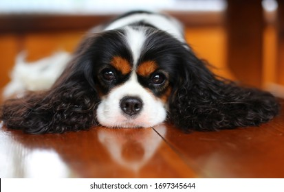 Beautiful dog cavalier king Charles Spaniel lying on the floor.