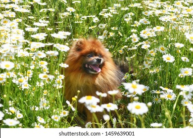 Beautiful dog in chamomile field, spitz