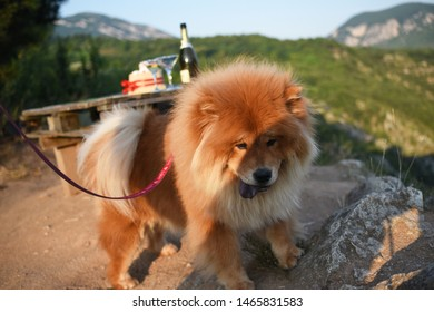 Beautiful dog chow-chow in nature. Purebred red dog chow chow