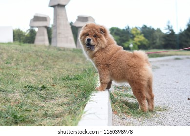 Beautiful dog chow-chow in the park. Purebred red dog chow chow