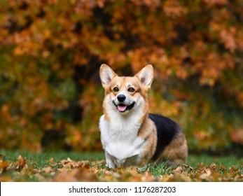 beautiful dog corgi in yellow autumn leaves