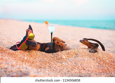 beautiful dog of dachshund, black and tan, buried in the sand at the beach sea on summer vacation holidays, wearing red sunglasses with a glass of soft drink