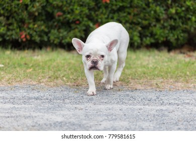 5f46baa3a13a Beautiful dog french bulldog white