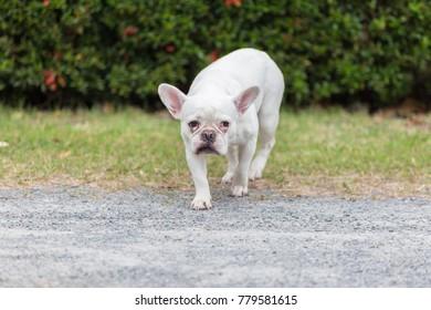 Beautiful dog french bulldog white, close-up.