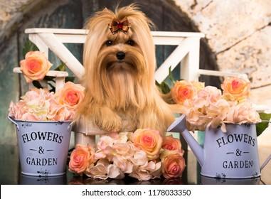 Beautiful dog golden york