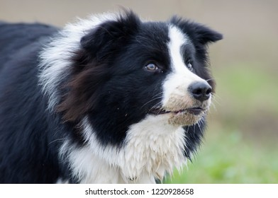 Beautiful dog having fun in fields. Border Collie named Ziva, registered with pedigree.  Black and white color, happy expression in outdoor setting. Very active breed for sheepdog, herding, agility.