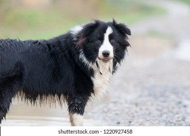 Beautiful dog having fun in water mud and fields. Border Collie named Ziva, registered with pedigree. Black and white color, happy expression in outdoor setting. Very active and cute breed, great pet.