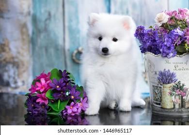 Beautiful dog - Japanese spitz, white fluffy dog