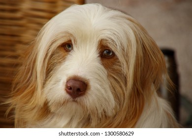 Beautiful dog with long hair - Bearded Collie