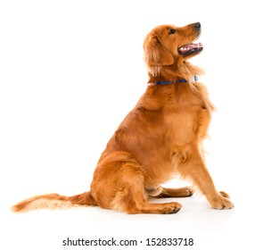 Beautiful dog looking alert - isolated over a white background
