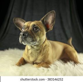 Beautiful dog lying on a white fluffy plaid/Cute dog portrait