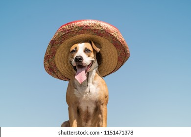Beautiful dog in mexican traditional hat in sunny outdoors background. Cute funny staffordshire terrier dressed up in sombrero hat as mexico festive symbol or for halloween