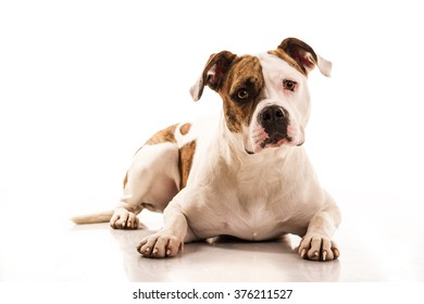 beautiful dog on a white background with funny emotions