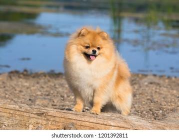Beautiful dog. Pomeranian dog near blossoming white bush. Pomeranian dog in a park. Adorable dog.
