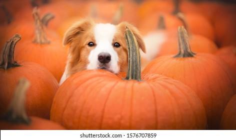 Beautiful dog and pumpkins at autumn