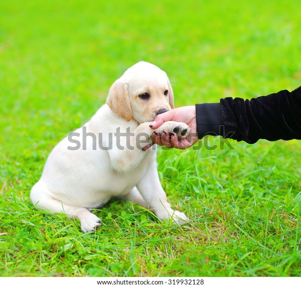 Beautiful dog puppy Labrador Retriever gives the paw to owner