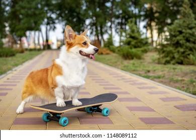 beautiful dog redhead  pembroke welsh corgi standing  a skateboard on the street for a summer walk in the park