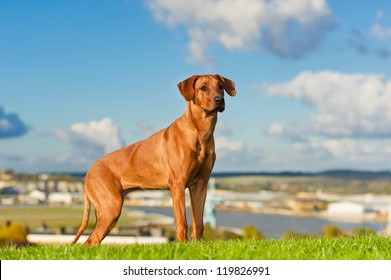 Beautiful dog rhodesian ridgeback outdoors