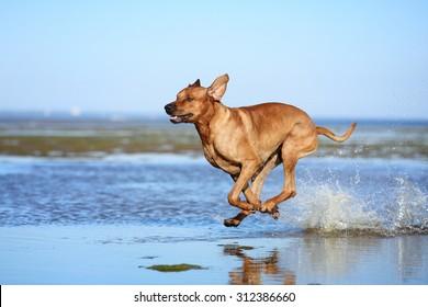 Beautiful dog running on water