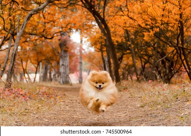 A beautiful dog runs through the bright autumn forest, the Spitz. The dog hovered in the air during the jump.