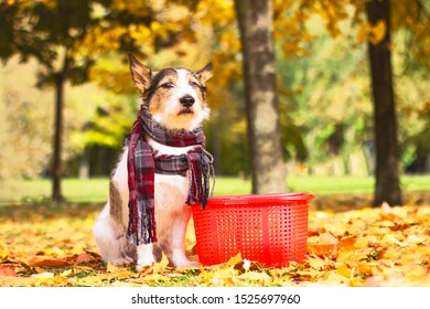 A beautiful dog in a scarf sits in the leaves in golden autumn, with a picnic basket outside in the park. Jack Russell, Parson Terrier Autumn mood.