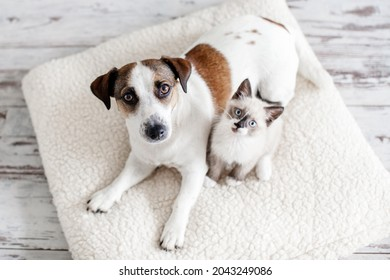 Beautiful dog and a small cat are sitting on a soft white pillow. A kitten and a puppy together at home. Cozy home concept