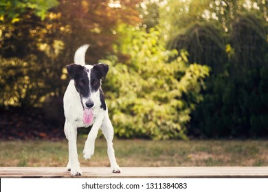 The beautiful dog Smooth Fox Terrier staring and focusing in the sunny summer garden