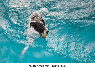 The beautiful dog Smooth Fox Terrier swimming and fetching the ball in water swimming pool