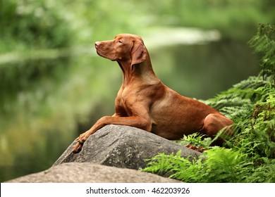 Beautiful dog Vizsla laying on a rock