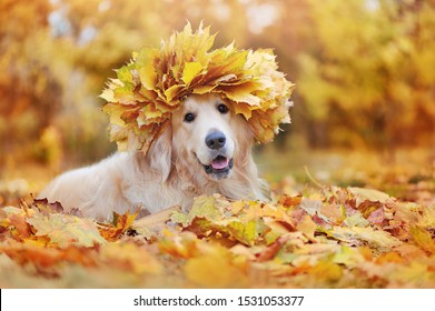 Beautiful dog wearing maple tree leafs wreath