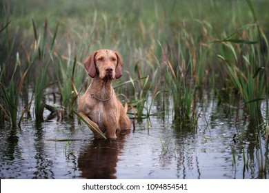 Beautiful Dog Wirehaired Vizsla standing in water