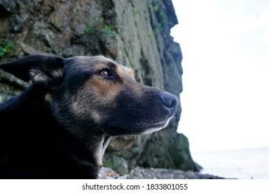 Beautiful dog, a young shepherd dog thoughtfully lies on a pebble beach
