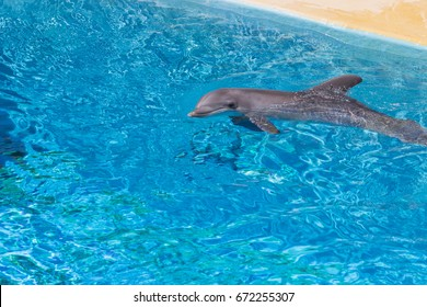 beautiful dolphin smiling in a blue swimming pool