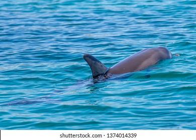 Beautiful dolphin swims in the sea of Rockingham, Western Australia