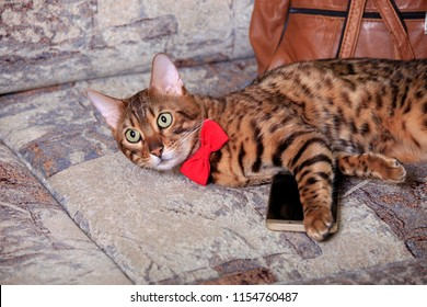 Beautiful domestic Bengal cat lying on the couch with smarfon