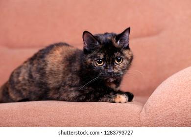 Beautiful domestic cat lies on the sofa